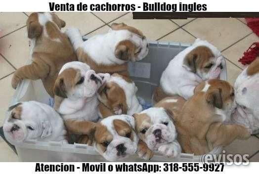 Cachorros bulldog ingles y bulldog frances  Camadas de cachorros bulldog ingles y bulldog frances  Bulldog ingles $1.500.000 Bulldog frances ...  http://cali.evisos.com.co/cachorros-bulldog-ingles-y-bulldog-frances-id-451923