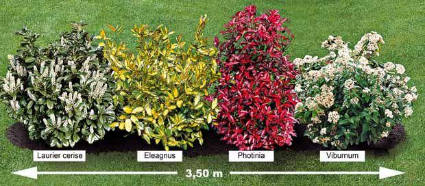 """La """"Haie persistante"""" 4 arbustes"""