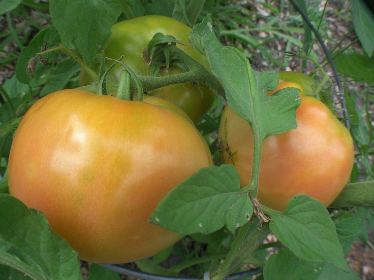 By Bonnie L. Grant Beefsteak tomatoes are aptly named large, thickly fleshed fruits. They are one of the favorite tomato varieties for the home garden. Growing beefsteak tomatoes requires a heavy cage or stakes to support the often 1 pound fruit. Beefsteak tomato varieties are late maturing and should be started indoors to extend the…