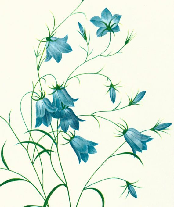 Bellflower Campanula LARGE SIZE Redoute Botanical Print