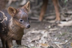 A southern pudú fawn- the world's smallest deer species - born at Queens Zoo in New York, US