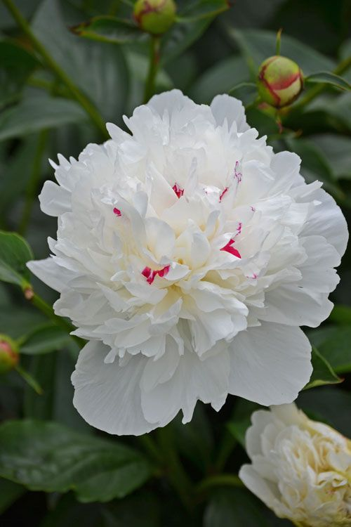 White Peony With Pink Specks Flowers Pinterest Gardens Peonies And