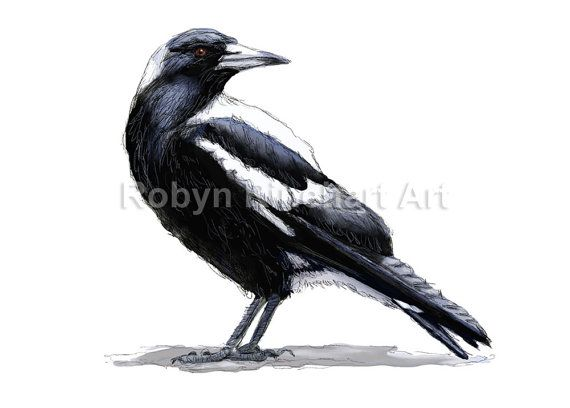 Australian Magpie - digital painting by Robyn Rinehart
