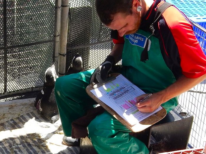 Volunteer abroad with Via Volunteers in South Africa during your Gap Year and help to rehabilitate endangered African Penguins and other marine bird species at the SANCCOB rehab centre near Cape Town. https://www.viavolunteers.com/volunteer-south-africa-sanccob-penguins-homestay Homestay or backpacker options