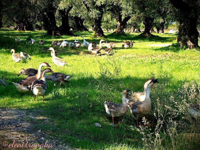 Ελένη Τράνακα: Πάπιες / Ducks