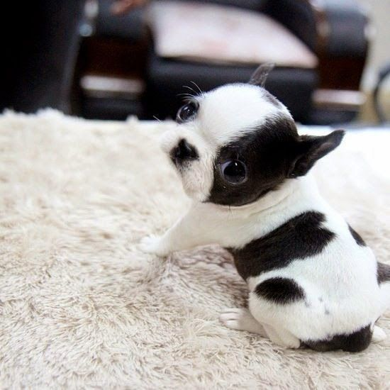 Top 5 Cutest Dog Breeds. This lil booger is cuute