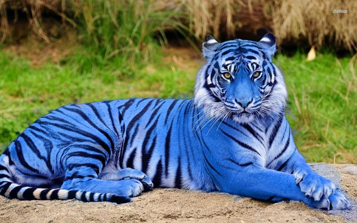 Breaking News!: Scientists have discovered a beautiful and rare Majestic Blue Tiger deep in the jungles of the Amazon Rainforest. While on hunt to research an exquisitely colored bird named a Scarlet Macaw. Dr. Richard Dawson and famed photographer Walter Hunt voyeured near where the mountains mee
