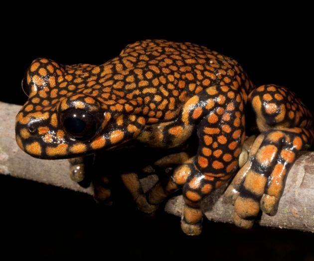 El Príncipe Carlos de Gales es una rana (Hyloscirtus princecharlesi)  Esta nueva especie de rana acaba de recibir su nombre científico del príncipe Carlos, heredero de la corona británica por su labor en la conservación de los bosques tropicales.