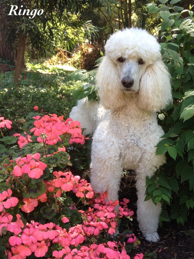 poodle haircuts photos 530 best images about ringo s world on the 5429