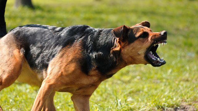 元特殊部隊員が教える犬の攻撃から身を守る術  ほとんどの人は反射的に身を守ろうとして腕を身体の前にもっていきます。しかしClint Emerson氏は、それでは肘から手首にかけて外腕部分がむき出しになるので、できたらその部分にシャツを巻き付けて、さらに防御した方が良いと警告しています。尺骨側と橈骨側にある太い動脈は何としても保護する必要があるからです。  犬を撃退したい場合は、文字通り犬の鼻を殴るようにとEmerson氏はアドバイスしてています。理由は、大きくて狙いやすい場所だからです。犬に襲われるという恐怖とストレスにさらされていると、意識を集中させて狙えるのは「犬の体の大きくて狙いやすい部分」だけになります。他には、脇腹も弱い部分です。