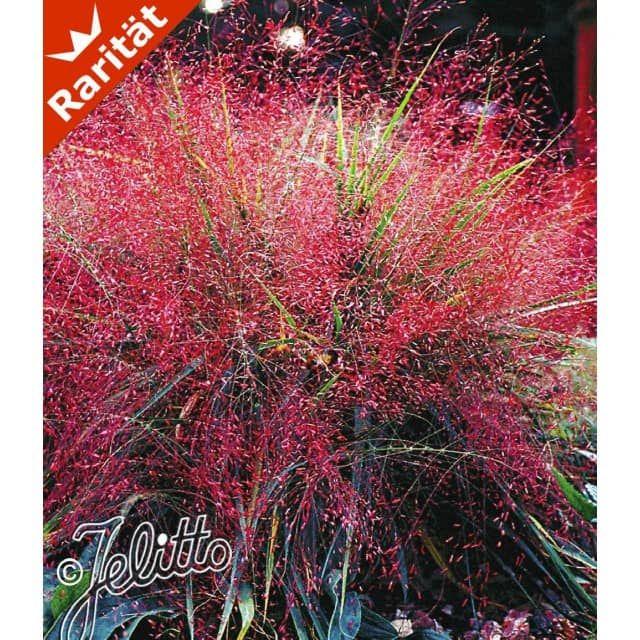 Amazing Rotes Liebesgras Pflanzen BALDUR Garten CH