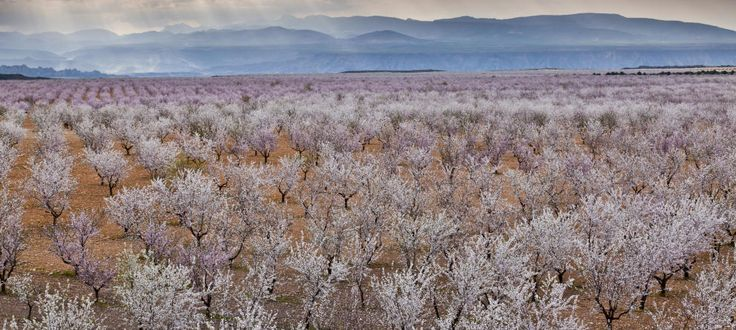 Cultivo de almendros en flor en Andalucía. (Corbis)