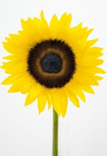 """Tournesol  Tu es charmant  Dans le langage des fleurs, le tournesol signifie """"je t'admire"""".  Tournesol jaune : Tu es mon soleil, je ne vois que toi, c'est vers toi que je me tourne. Tournesol orange : Fidélité en amour. Je t'admire."""