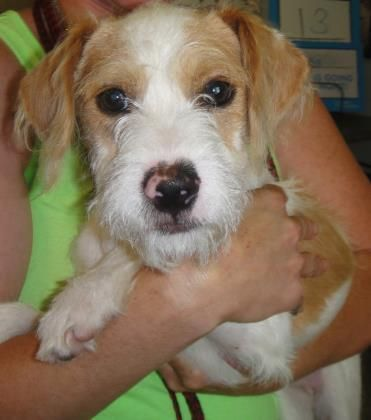 Jay Jay is an adoptable Jack Russell Terrier (Parson Russell Terrier) searching for a forever family near Ridgeland, SC. Use Petfinder to find adoptable pets in your area.