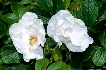 Hedgehog Bush Rose