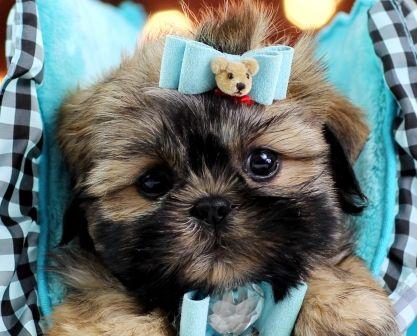 Teacup Shih Tzu puppies