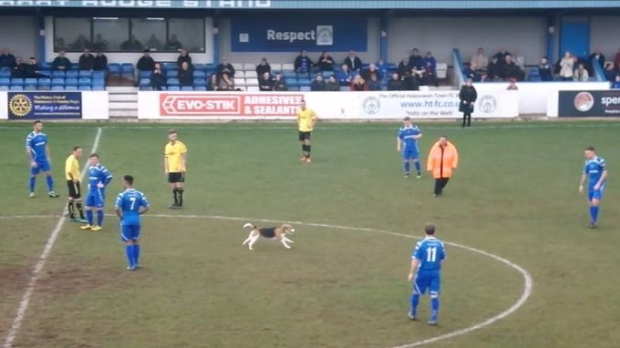 'Dusty' the dog enjoys a run on the pitch of a UK Northern League game between Halesowen Town FC and Skelmersdale  United evading all attempts to catch her for seven minutes. Eventually, her owner, a player with the home side, grabbed her by the collar to halt her romp. Halesowen Town won 1-0. 05.04.17