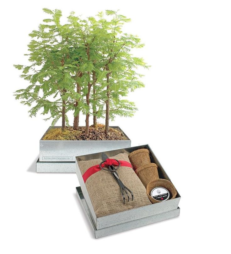 Bonsai Redwood Forest | Best-Selling Gifts