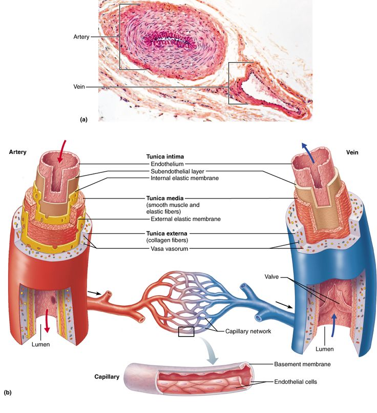85 Best Anatomy Cardiovascular Images On Pinterest Anatomy