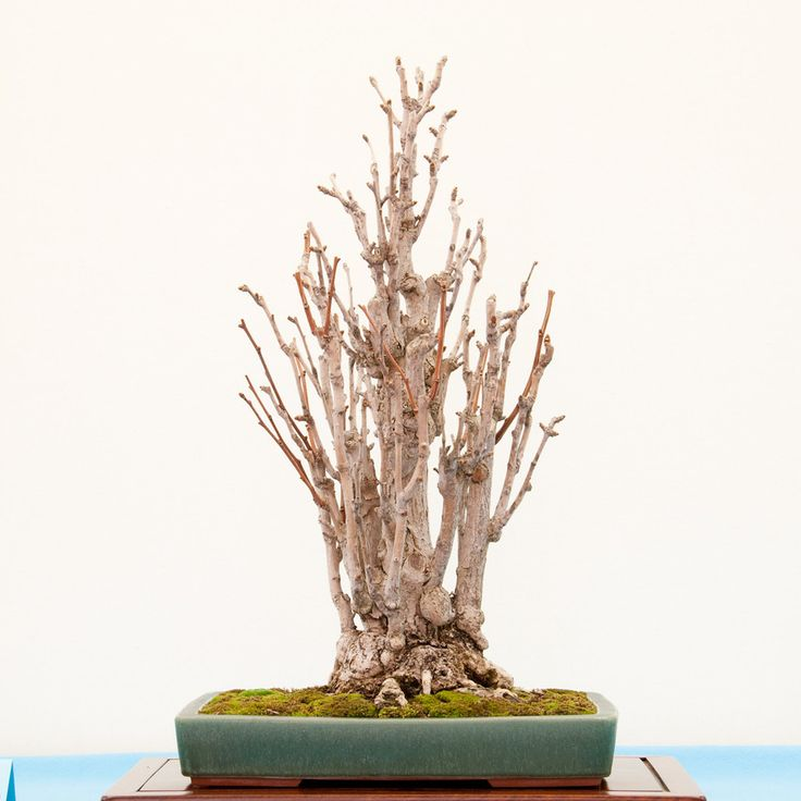 how to make a ginkgo bonsai