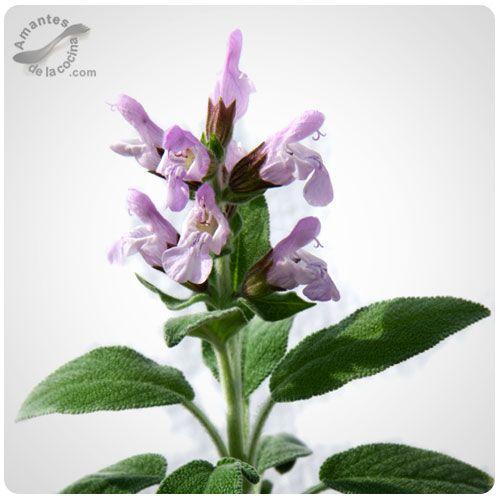 La salvia, esta planta aromática y curativa está representada en casi 900 especies y se encuentra en numerosas regiones en el mundo.