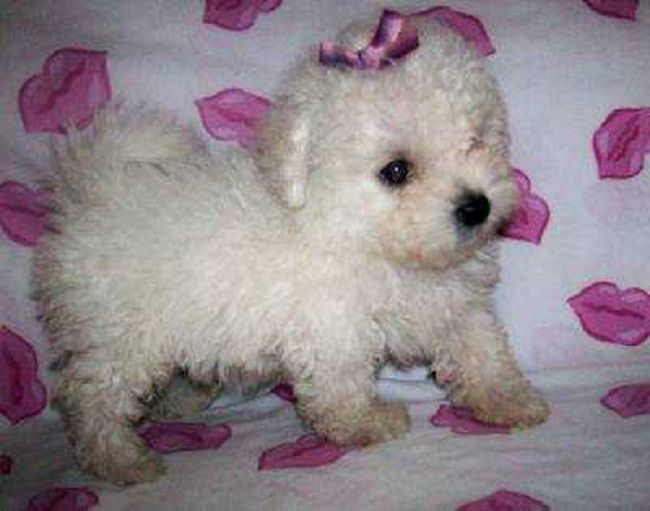 teacup maltipoo puppies for sale   Zoe Fans Blog
