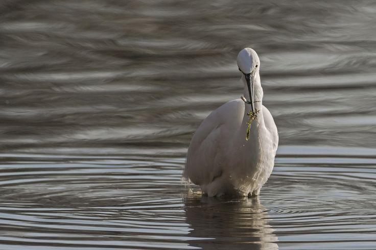 Garzetta con la sua preda - Una garzetta stringe nel suo becco una alborella appena pescata.