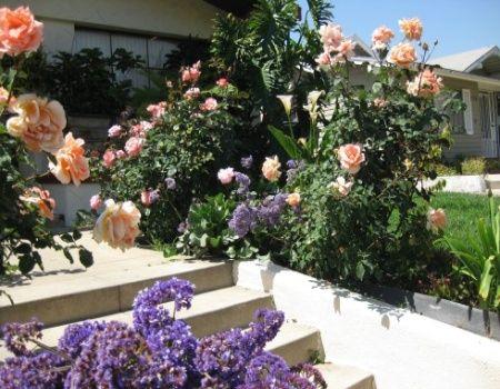 Rose Bush Care Maintenance: A Complete Guide To Rose Care {rose-gardening-made-easy.com}