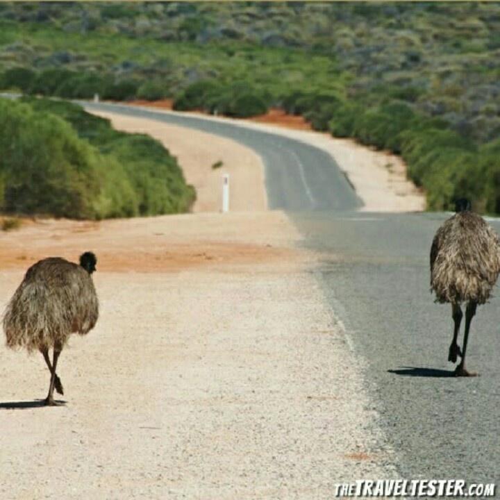 Emu's in Monkey Mia, Western Australia  (seen in 2012)