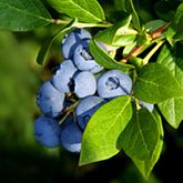 Blueberry Bushes for Sale - Brighter Blooms Nursery