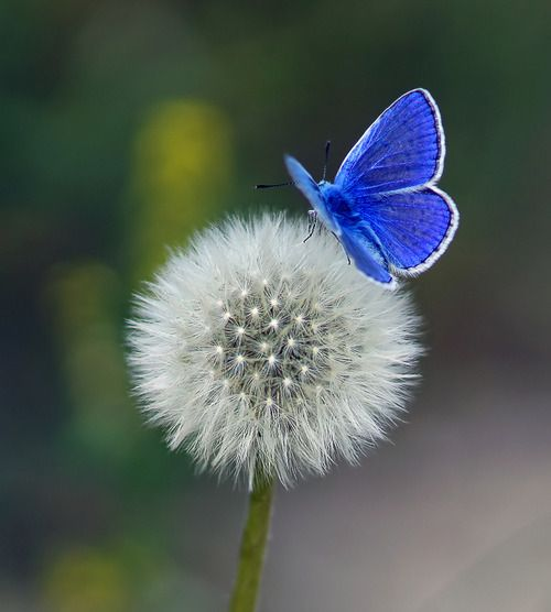 blue butterfly landing on white dandelion.