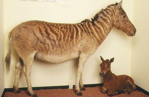 The last wild Quagga extinct in 1873 in Orange Free State.