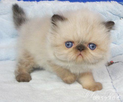 Персидский гималайский котенок Юлиан - Россия , Московская обл. , Москва