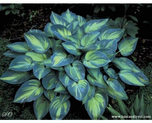 Hosta 'June' in a pot on the patio