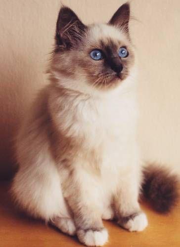 chat sacre de birmanie