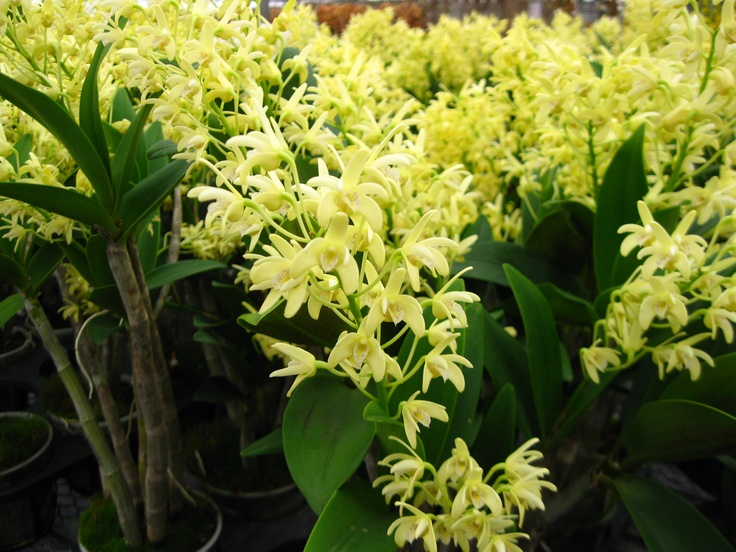Dendrobium speciosum (yellow flower type) This is rare and unusual that's why I like it!!