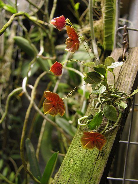 Lepanthes telipogoniflora by Morabeza79 on Flickr.  (Source: http://www.flickr.com/photos/morabeza79/6687544375/)Orchids, Lepanth Telipogoniflora, Tags Lepanth