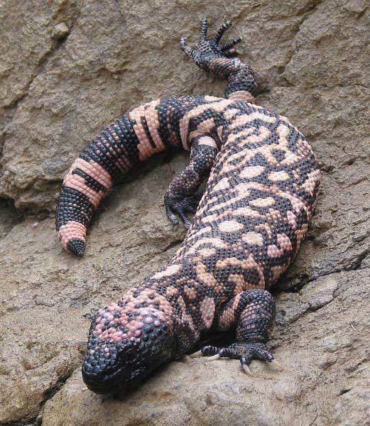 gila monster | Gila Monster resting on rocks