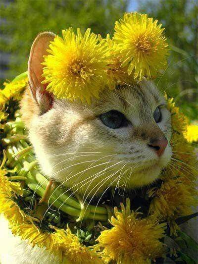 cat wearing dandelions