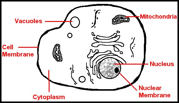 parts of cell nucleus Plant cell nucleus the nucleus is a highly specialized organelle that serves as the information and administrative center of the cell this organelle has two major.