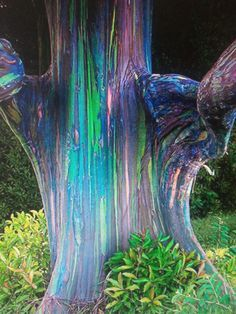 Rainbow Eucalyptus - thought to have originated in Mindanao, Philippines -- this one is in a small eucalyptus grove along the way to Hana, Maui.
