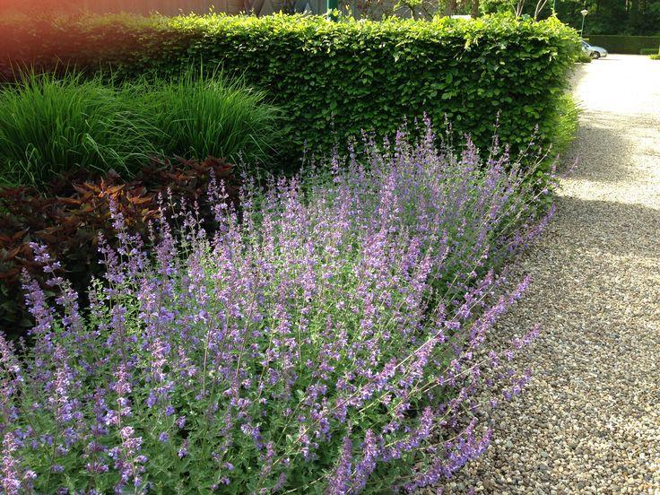 Nepeta faassenii 'Six Hills Giant' - kattekruid - 60 cm hoog, mooi lang in bloei - paars - bloeit in mei tot juli