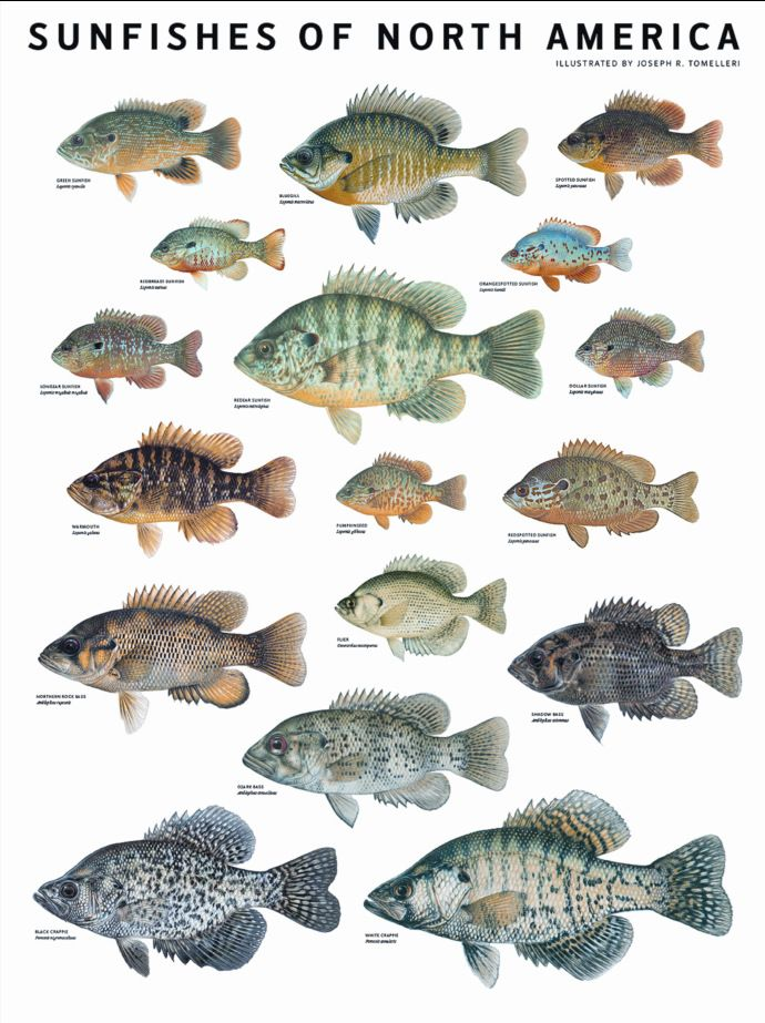 The Sunfishes Of North America Zutano Funny Or Cool Pinterest Fish Freshwater And Crie Fishing