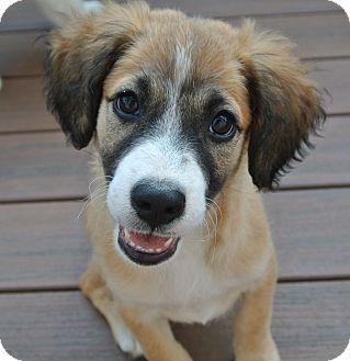 ... PUPPIES! | Pinterest | Australian Shepherd Mix, Australian Shepherd