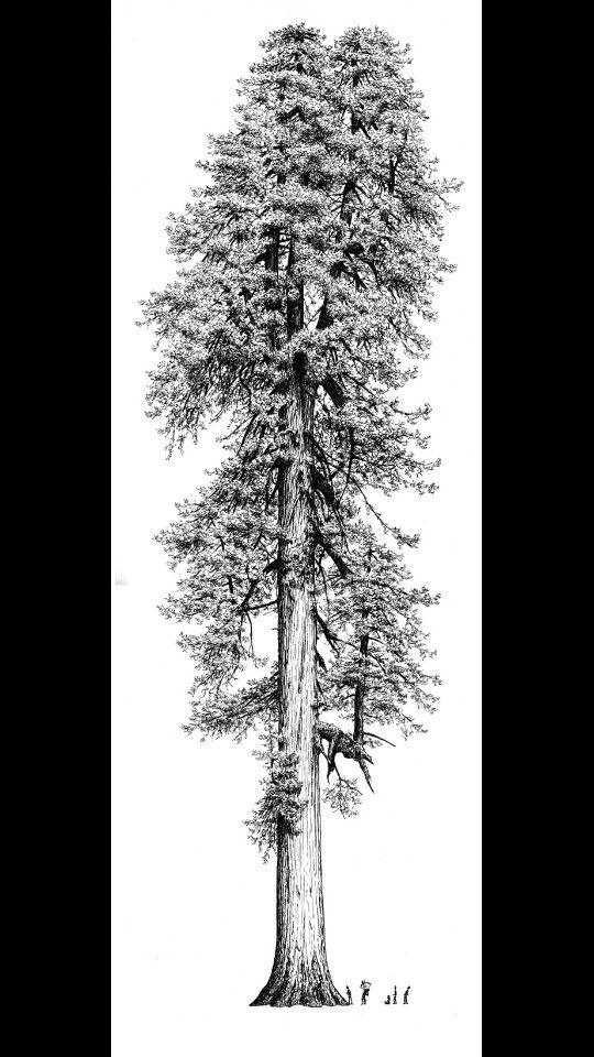 giant sequoia tree tattoo pinterest. Black Bedroom Furniture Sets. Home Design Ideas