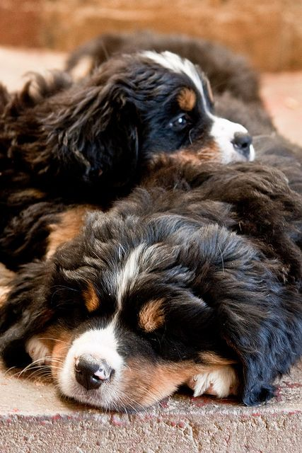 I WANT ONE!!!!! Bernese Mountain puppies