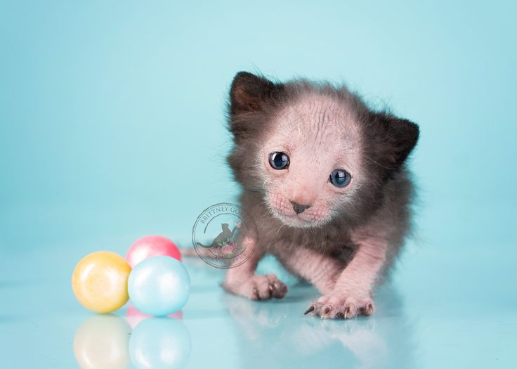 kittens | Lykoi Cats ~ The Original Lykoi Breeder
