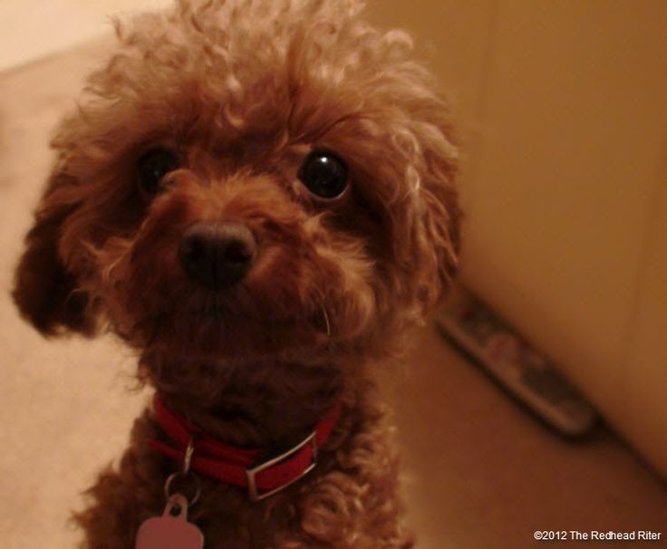 pure bred red toy poodle 1: Doggie, Coco Poodle, Rosies S Duffy, Pure Bred, Bred Red, Toy Poodles, Delightful Dogs, Red Toys, Toys Poodle