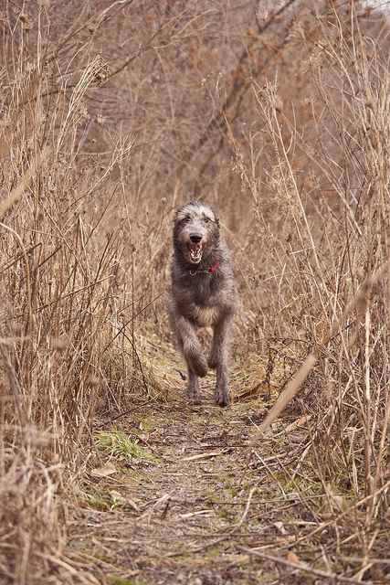 Irish Wolfhound. I want one. Two of my favourite things! Wolves and irish!