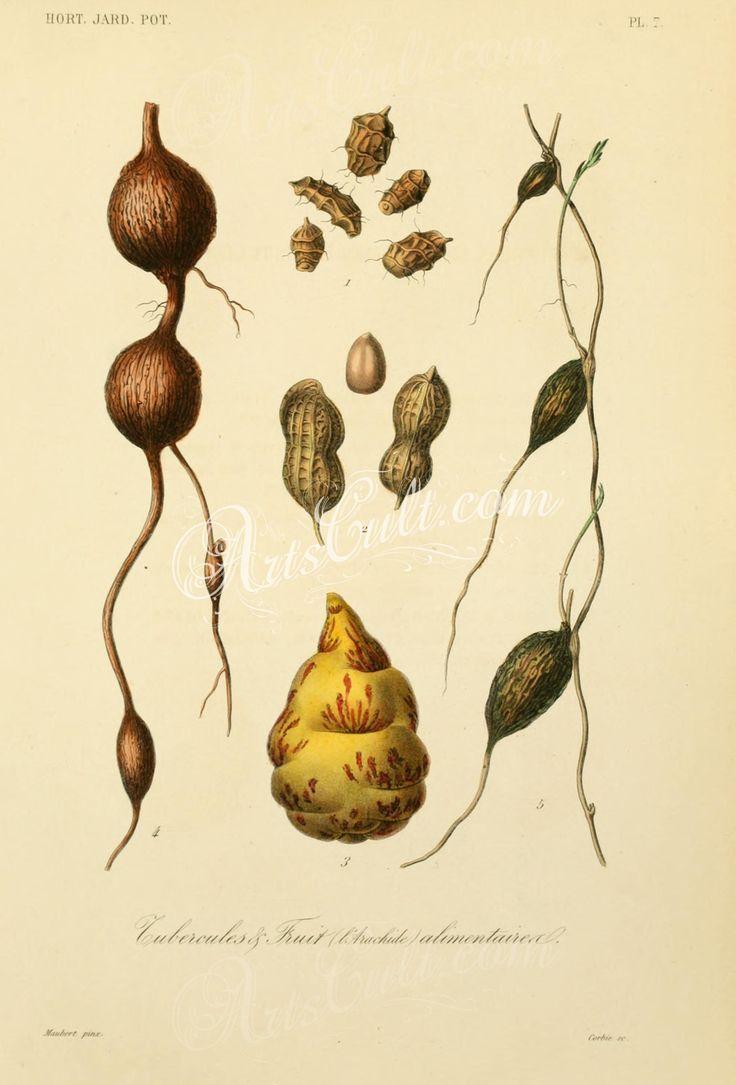 007-cyperus esculentus, arachis hypogaea, arachis africana, arachis asiatica, arachis americana, tropaeolum tuberosum, apios tuberosa, lathyrus tuberosus      ...